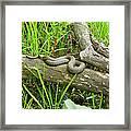 Northern Water Snake - Nerodia Sipedon Framed Print