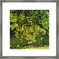 Oak Tree By The Pond - Featured 3 Framed Print