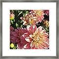 October Dahlia Field Framed Print