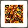Orange Cymbidium Framed Print