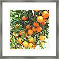 Orange Trees With Fruits On Plantation Framed Print