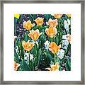 Orange Tulips Framed Print