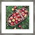 Orchard Fresh Picked Apples Framed Print