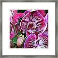 Radiant Orchid  Framed Print
