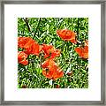 Oriental Poppies Framed Print