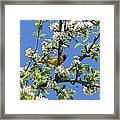 Oriole In A Pear Tree Framed Print
