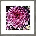 Ornamental Cabbage Plant Framed Print