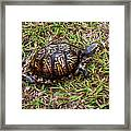Box Turtle Framed Print
