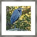 Painted Great Blue Heron Framed Print