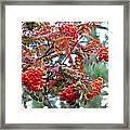 Painted Mountain Ash Berries Framed Print