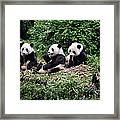Pandas In China Framed Print