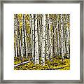 Panoramic Birch Tree Forest Framed Print