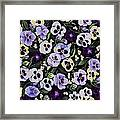 Pansy Faces Framed Print