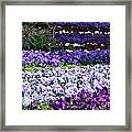 Pansy Field Framed Print