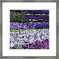 Pansy Field Framed Print