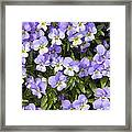 Pansy Flowers In Spring Background Framed Print