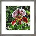 Paph Fiordland Sunset Orchid Framed Print