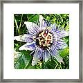 Passiflora Against Green Foliage In A Garden  Framed Print