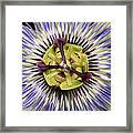 Passion Flower-0008 Framed Print