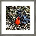 Patient Cardinal Framed Print