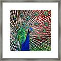 Peacock And Red Barn Framed Print