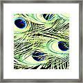 Peacock Colour Framed Print
