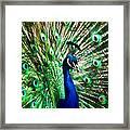 Peacock - Impressions Framed Print
