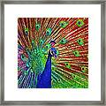 Peacock In Front Of Red Barn Framed Print