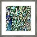 Peacock Framed Print by Karen Walzer