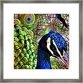 Peacock Pride Revisited Framed Print