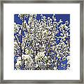 Pear Tree Blossoms In Spring Framed Print