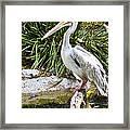 Pelican At Rest Framed Print