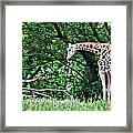 Pensive Giraffe Framed Print