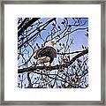 Perched Bald Eagle Framed Print