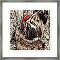 Perfect Pileated Pose Framed Print