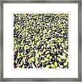 Picking Olives Framed Print