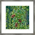 Pine Cones On Spruce Tree In Rancheria Falls Recreation Site-yt Framed Print