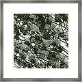 Pine Tree Branches Covered With Snow Framed Print