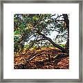 Pine Tree In Hoge Veluwe National Park 2. Netherlands Framed Print