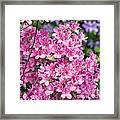 Pink And Blue Rhododendron Framed Print by Frank Tschakert
