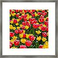 Pink And Yellow Tulips Framed Print