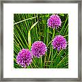 Pink Chives In Mackinac Island-michigan Framed Print