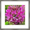 Pink Cleome Flower Framed Print