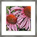 Pink Coneflowers Framed Print