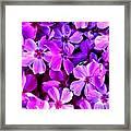 Pink Flox Everywhere Framed Print