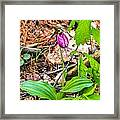 Pink Ladyslipper Framed Print