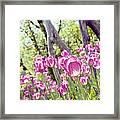 Pink Spring Tulips-light Framed Print