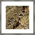 Posing Bighorn Sheep Framed Print