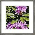 Pretty Purple Rhododendron Framed Print