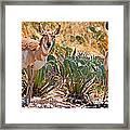 Pronghorn Antelope Framed Print